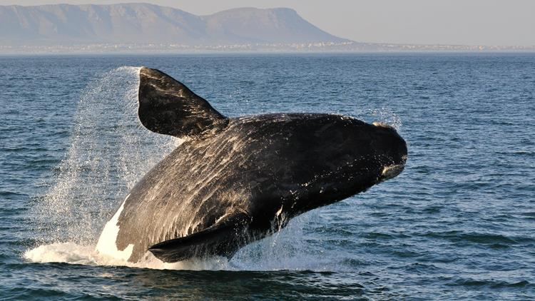 Whale breaching off the coast of South Africa