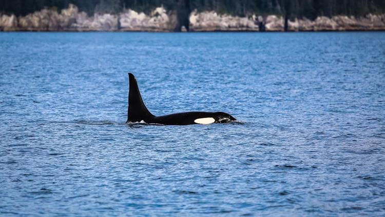 Orca whale at Kenai Fjords