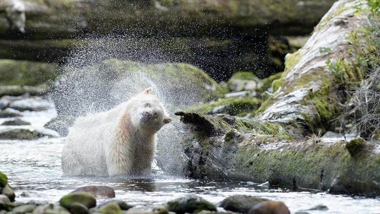 Spirit bear in the Great Bear Rainforest