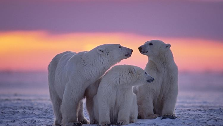 Polar bears in Arctic Canada