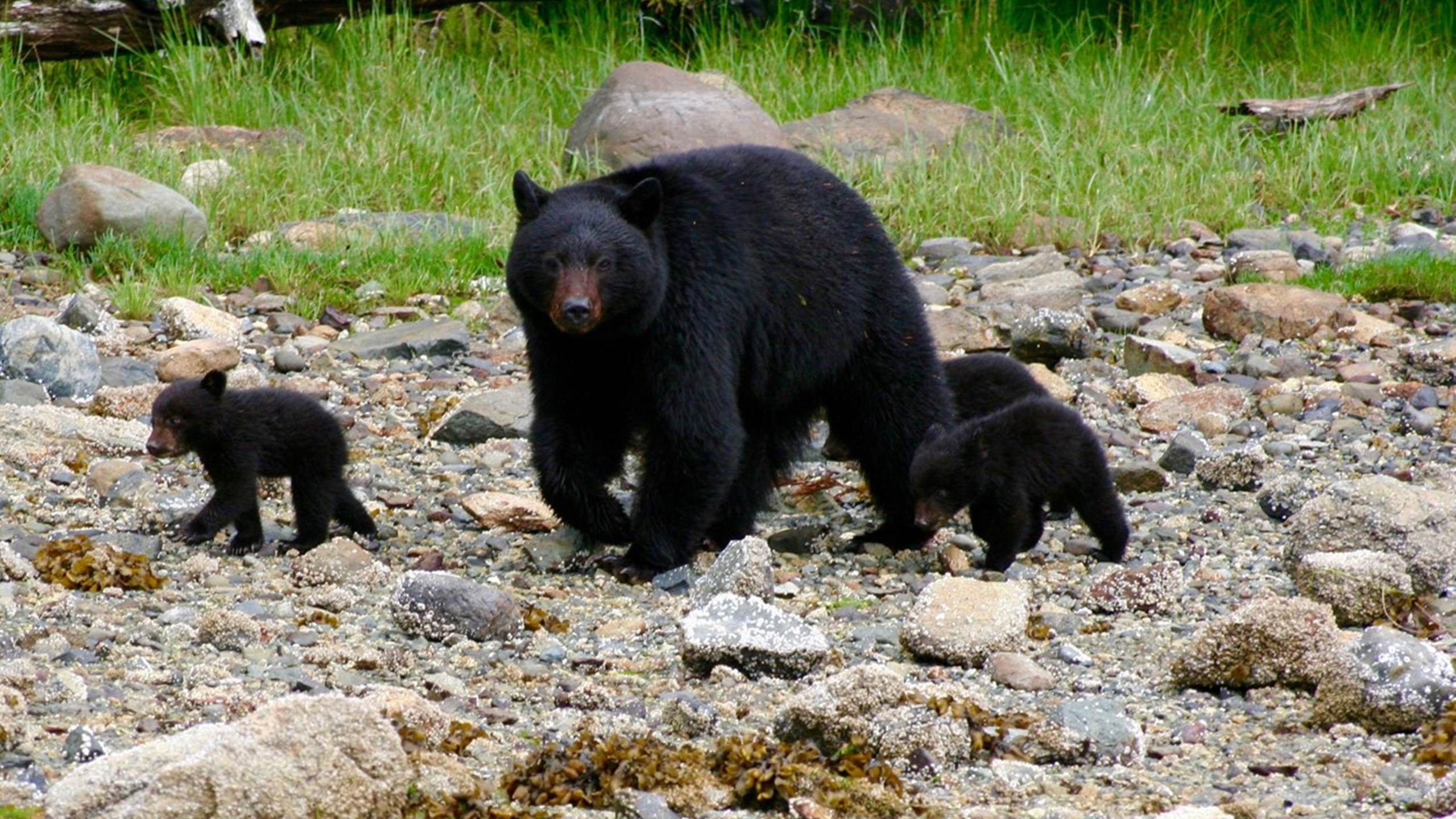Mama black bear and cubs